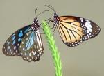 cultural-differences-butterflies-engaugecouk