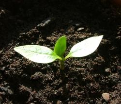 seedling naryves frangipani