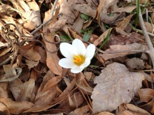 crocus white Feb15