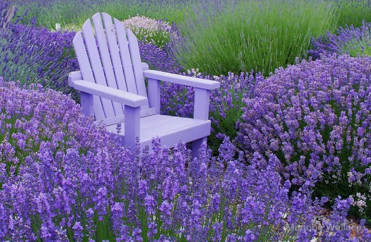 lavender and chair